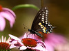 "<div class=""jaDesc""> <h4>Black Swallowtail on Coneflower  - August, 2013</h4> <p> </p> </div>"