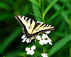 """<div class=""""jaDesc""""> <h4> Tiger Swallowtail on Dame's Rocket Bloom</h4> <p> It was a very windy day, but this Tiger Swallowtail butterfly was determined to get some nectar from the dame's rocket blossoms growing across the road from our house. </p> </div> </br> <center> <a href=""""http://www.youtube.com/watch?v=oKf4Km-fl-8&feature=youtu.be"""" class=""""lightbox""""><img src=""""http://www.jerryacton.com/images/stories/video_thumb.jpg"""" alt=""""""""/></a> </center>"""