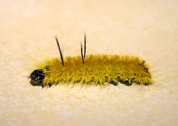 "<div class=""jaDesc""> <h4> American Dagger Moth Caterpillar - August 6, 2010 </h4> <p> While I was at a festival a few weeks ago, this American Dagger Moth caterpillar dropped out of one of the huge maple trees over my booth. He proceeded to crawl up my felt display panel in among my framed photos. I brought him home and put him in one of my birch trees - one of his favorite food sources.</p> </div>"