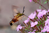 """<div class=""""jaDesc""""> <h4> Hummingbird Clearwing Moth on Cote D'Azur - May 23, 2012</h4> <p>Our Cote D'Azur plants are one of the Ruby-throated Hummingbird's favorites - a low carpet of dense blooms.  It turns out, the Hummingbird Clearwing moth likes them as well.</p> </div>"""