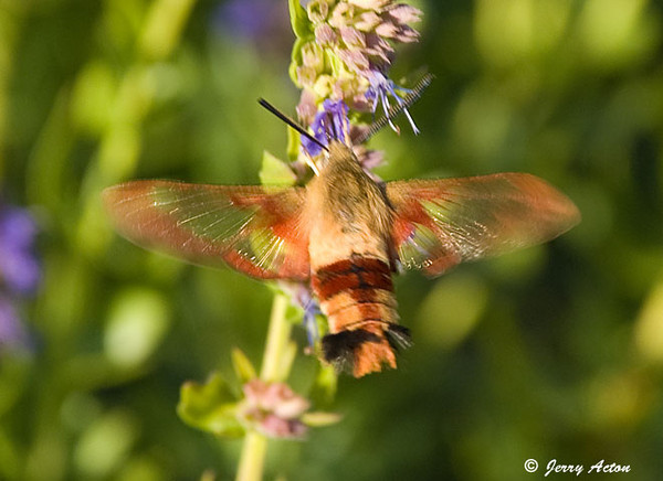 """<div class=""""jaDesc""""> <h4> Hummingbird Clearwing Moth At Hyssop - August 7, 2009 </h4> <p>I was looking for butterflies in my flower beds when I noticed this little jewel getting nectar from the hyssop flowers.  He is about the size of a large bumblebee.</p> </div>"""