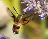 """<div class=""""jaDesc""""> <h4> Hummingbird Clearwing Moth at Catmint - June 28, 2009 </h4> <p>This Hummingbird Clearwing moth is just as hard to photograph as a Hummingbird.  He was all over the catmint blooms and did not seem to mind my presence.</p> </div>"""