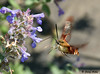 """<div class=""""jaDesc""""> <h4> Hummingbird Clearwing Moth at Lamb's Ears - June 28, 2009</h4> <p> This Hummingbird Clearwing moth was enjoying nectaring at the Lamb's Ears blossoms. The black legs indicate that is a Snowberry.</p> </div>"""