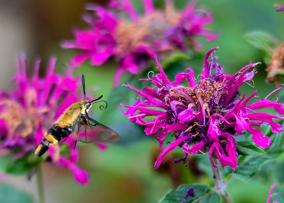 Snowberry Clearwing Moth at Bee Balm - July 21, 2018   You can clearly see the curled sipper on this Snowberry Clearwing Moth.