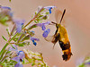 """<div class=""""jaDesc""""> <h4> Snowberry Clearwing Moth - Side View - July 19, 2012 </h4> <p> I have been seeing this Snowberry Clearwing moth for several weeks, but only fleeting glances. The other day, it cooperated by nectaring on our catmint plants. It is fast like a Hummingbird and much smaller so I got only 2 in-focus shots out of the 40 that I took.</p> </div>"""