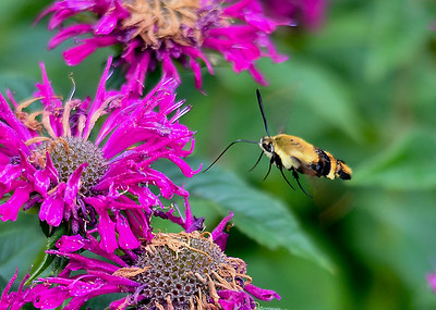 Snowberry Clearwing Moth Ready for Nectar - July 21, 2018   Even though this Bee Balm is way past its prime, the Snowberry Clearwing Moth was finding some nectar.
