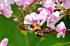 """<div class=""""jaDesc""""> <h4> Clearwing Hummingbird Moth on Phlox - August 10, 2013 </h4> <p>This Clearwing Hummingbird Moth was gathering nectar from blooms in a large patch of phlox.</p> </div>"""