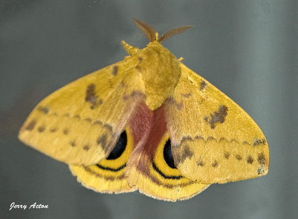 """<div class=""""jaDesc""""> <h4> IO Moth - June 15, 2009 </h4> <p> This IO moth has an interesting name.  At first I thought it was an abbreviation, but that is the whole name.  He was flying against our storm door window after dark.  The underside was very plain, so I was surprised when I saw the beautiful top view.</p> </div>"""