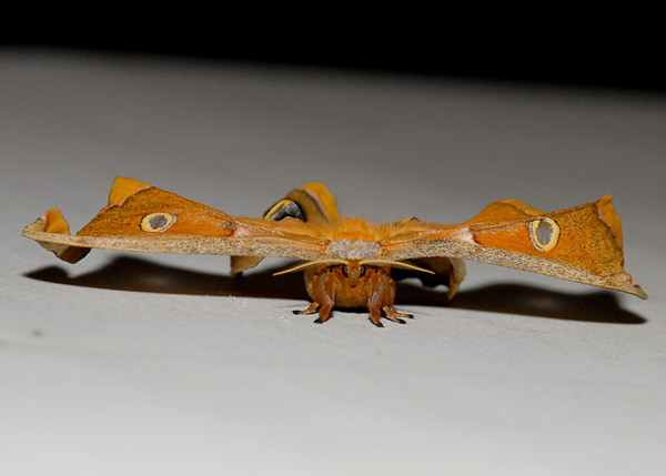 """<div class=""""jaDesc""""> <h4> Polyphemus Moth #2 - Front View - August 15, 2012 </h4> <p> This Polyphemus moth had been out of its cocoon for about 15 minutes.  The wings were still wavy and not ready for flight.</p> </div>"""