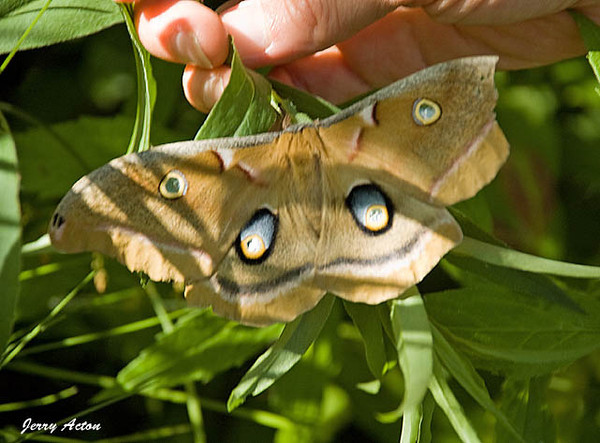 """<div class=""""jaDesc""""> <h4> Polyphemus Moth in Bush - June 14, 2009 </h4> <p> While I was on a nature hike over the weekend, the hike leader noticed a pair of Polyphemus moths well hidden among some dense plants. This is one of the largest moths measuring about 5 inches across. It had such beautiful markings.  Unfortunately a chunk of its right wing was missing.</p> </div>"""