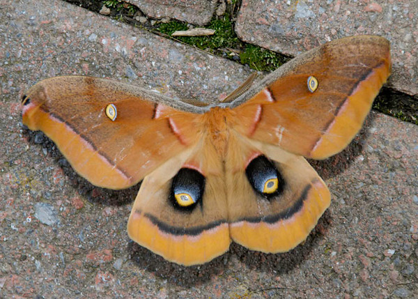 """<div class=""""jaDesc""""> <h4> First Polyphemus Moth #1 Emerges from Cocoon - August 11, 2012</h4> <p> Yesterday, the first beautiful Polyphemus moth came out of her cocoon when we were not looking.  Already this morning I had to rescue her from a spider web she got caught in on our back porch last night.  She measures about 5 inches from wingtip to wingtip.</p> </div>"""