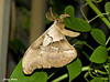 "<div class=""jaDesc""> <h4> Polyphemus Moth - Side View - July 17, 2009 </h4> <p> This Polyphemus moth was fluttering around in a vine next to our porch door at 11PM as I was bringing our dog in from his bedtime potty break.  It got my attention because it is 4 to 5 times larger than all the other moths that are out at that time of night.</p> </div>"