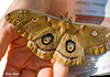 "<div class=""jaDesc""> <h4> Polyphemus Moth in Hand  - June 14, 2009 </h4> <p> The hike leader was able to pick the Polyphemus moth up in her hand and allow me to get a close-up.  It had a furry look to it.</p> </div>"