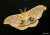 "<div class=""jaDesc""> <h4> Polyphemus Moth - Top View - July 17, 2009 </h4> <p> After flying around our back porch area at 11PM, this Polyphemus moth landed on our back porch door.  The dark glass made a perfect background to show of the beautiful colors of this large moth.</p> </div>"