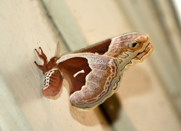 "<div class=""jaDesc""> <h4> Female Promethea Moth - Side View - June 5, 2009 </h4> <p>  This side view of the Promethea moth is just as beautiful as the top view.  </p> </div>"