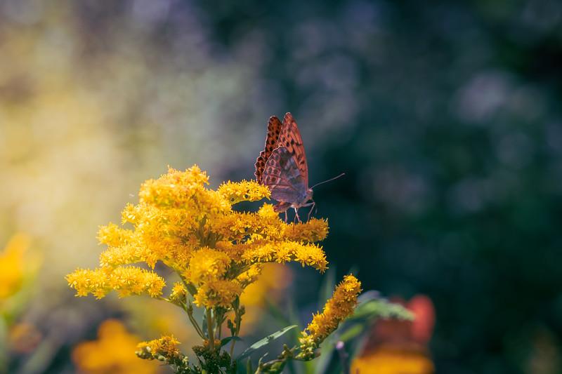 Butterfly, France, Burgundy, July 2018
