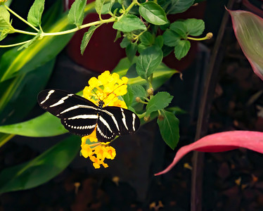 Zebra long winged butterfly