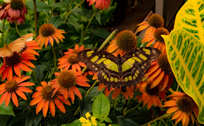 Malachite butterly on Coneflower