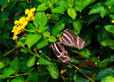 Two swallowtails mating