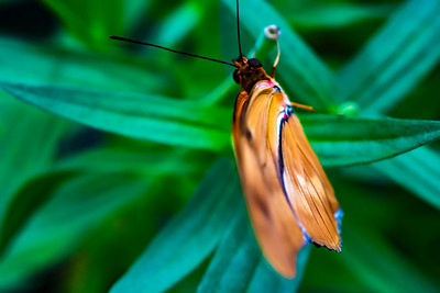 Orange Sulpher  Butterfly with wings closed