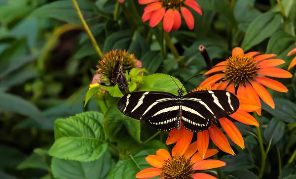 Zebra Long winged Butterfly