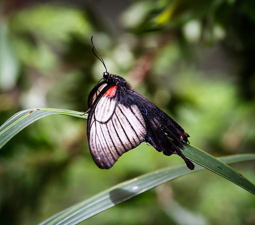 My favorite butterfly!
