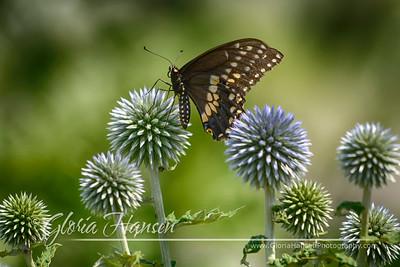 Butterfly_GLO2091