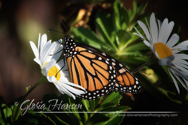Monarch_DSC1895-cropped
