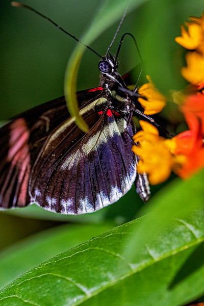 Sara Longwing Butterfly 1