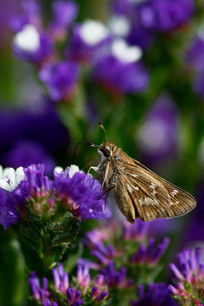 Purple Field Moth
