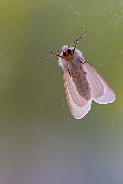 Moth-man