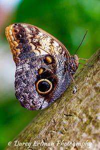 Owl Butterfly IV