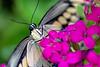 Swallowtail 7