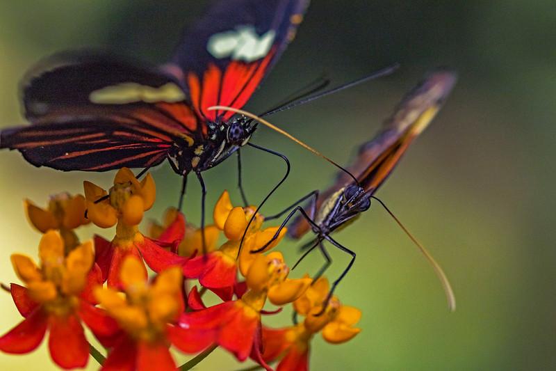 Postman Butterfly 5