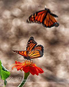 Butterfly_DSC9232