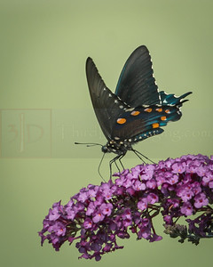 Pipevine Swallowtail, Butterfly
