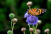 Last Flower Butterfly