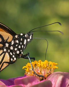 Monarch, Butterfly
