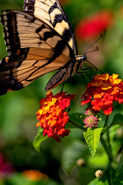 Swallowtail Lunch 1