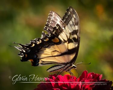 Butterfly_GLO1547