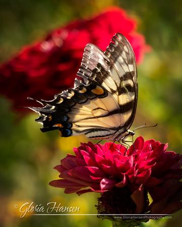 Butterfly_GLO1548