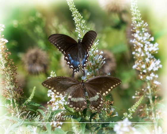 BlackSwallowtails_GLO6585
