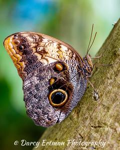 Owl Butterfly II