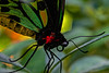 Cairns Birdwing Butterfly 1