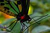 Cairns Birdwing Butterfly 1