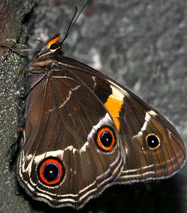 Sword-grass Brown