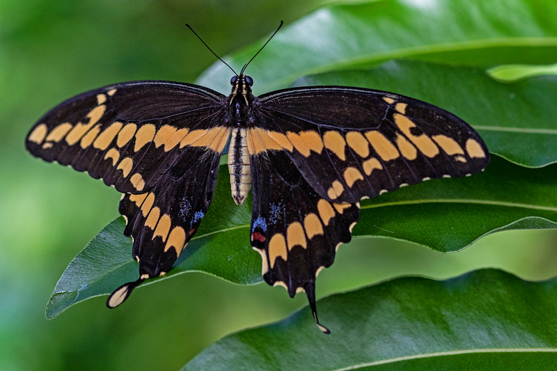 Butterfly Palm