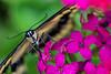 Swallowtail 6