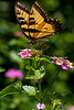 Swallowtail Lunch 2