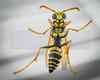 Yellow Jacket (macro) 01 (jpeg)_-2